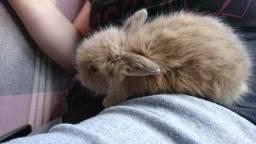 Mini coelho filhote