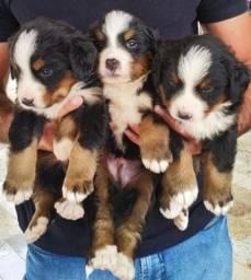 Filhotes Cachorro Bernese