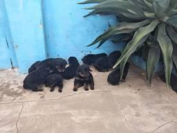 Filhotes de rottweiler.