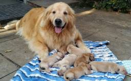 Filhotes de Golden Retriever top