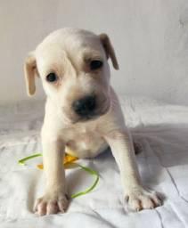 Labrador com rottweiler valor 130