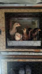 Vendo pintinho, galo e galinha