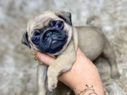 Maravilhoso Filhote Mini Pug Macho Com Pedigree