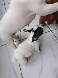 Filhotes Bulldog Francês/ fêmea
