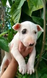 Lindos filhotes de Bull Terrier