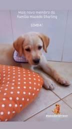 Labrador Retriever (filhote - 2 meses)