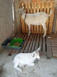 2 cabras