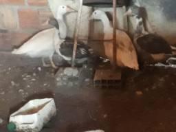 vendo  4 casais  de  gansos