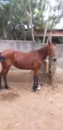 Égua mangalarga machado