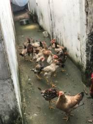 Vendo 15 galinhas indianas