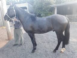 Cavalo Crioulo Barbada!