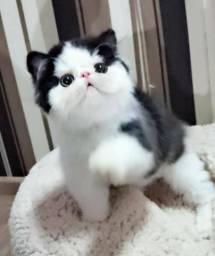 Gatos persas com pedigree