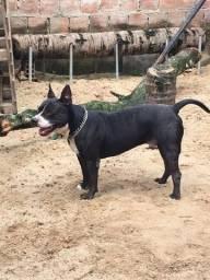 Pitbull (american staffordshire terrier)