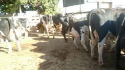 Gado girolando novilhas e vacas
