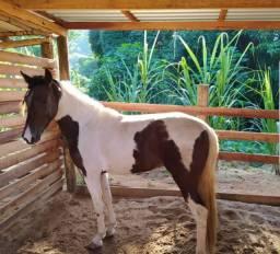Cavalo Pampa Registrado - Castrado.