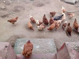 Vendo algumas galinhas