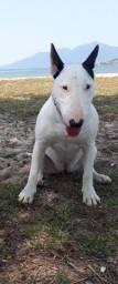 Bull Terrier Fêmea Super Dócil
