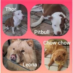Vendo filhotes de Chow Chow com Pitbull