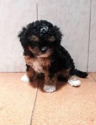 Filhote macho de porte pequenino de poodle com lhasa apso