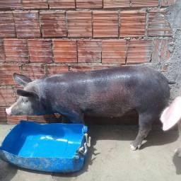 Porcos muito bons