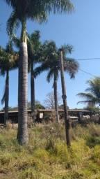 Vendo palmeiras imperial Adulta