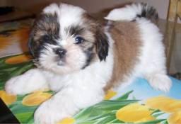 Procuro filhote de shih tzu ou Lhasa para adoção