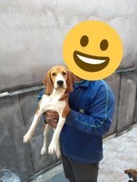 Beagle com pedigree disponível para cruzar.