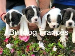Bulldog Francês com pedigree microchip até em 18x