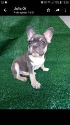 Bulldog francês macho blue tan