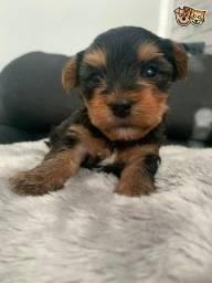 Yorkshire Terrier, Garantias em Contrato e Pedigree!!
