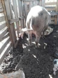 Vendo uma porca com   5 Leitão