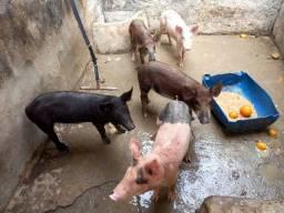 Porcos caipira para assar no São  João