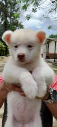 Filhote Husky Siberiano fêmea.