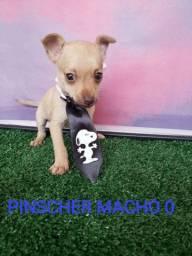 Filhote Pinscher disponível