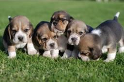 beagle- filhotes mais lindos zap *!!!!