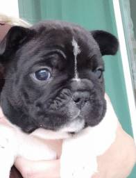 Título do anúncio: Bulldog francês lindos