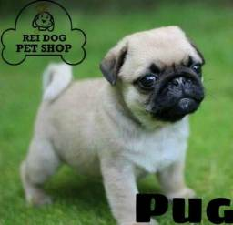 Pug 2 meses com pedigree - Rei Dog Filhotes Aracaju/SE