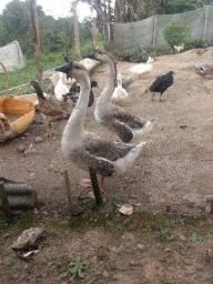 Casal.de gansos