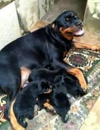 Filhote Femêa de Rottweiler