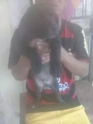 Vendo Rottweiler