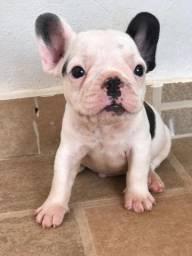 Bulldog Francês filhote (analiso troca)