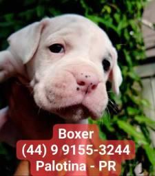 Breve filhotes de Boxer - cães puros criados por veterinários
