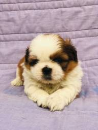Parcele filhotes de shihtzu puppy