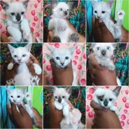 Bebês gatinhos de olhos azuis
