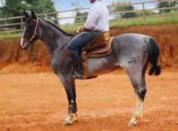 PARA VENDER - cavalo Crioulo professor no laço!