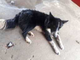 Cachorro budercoly 11 meses