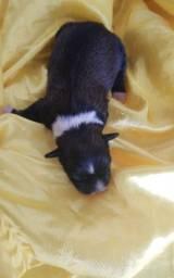 Vendo uma linda  filhote fêmea de Lhasa Apso
