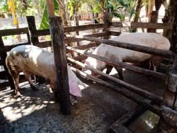 Casal de porcos novos pra procriar