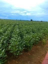 Fazenda Arrendamento de Juara /MT, à 50 km da cidade jo 144