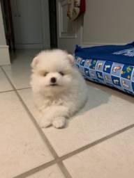 Vendo cachorro da raça Lulu